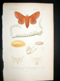 Cuvier C1840 Antique Hand Col Print. Insects 151